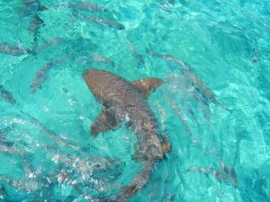 I got to swim and touch the Nurse Sharks
