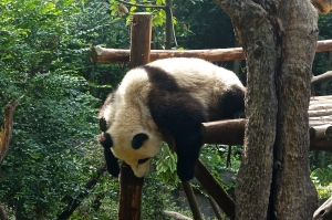 Pandas seem lazy but they're really trying to conserve their energy.
