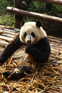 This panda is only a few years old.