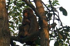 Wudangshan Monkeys