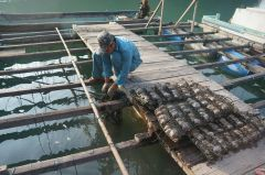 Halong Pearl Farming