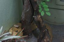 Hiding cobra