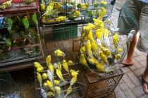 A lot of yellow birds in one small cage