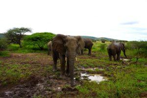 Elephants Mud Bath
