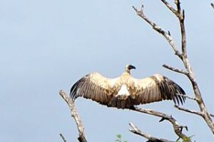 Here's a White-backed Vulture drying the dew off his wings.