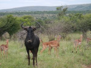 This single guy just chilling out with a bunch of Impala.