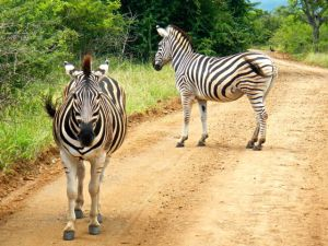 The stripes on a zebra are used to confuse their predators as to which way the zebra are running.