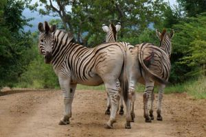 Zebra have very thin hides but can also heal incredibly quickly.  Doesn't that gash just look nasty?