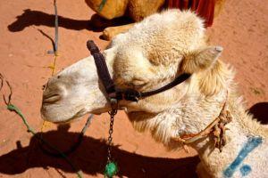 Camel Sense
