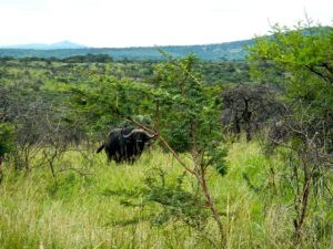 African Buffalo are the most dangerous land mammals in all of Africa