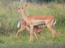 impala mother and baby duo