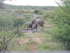 Elephants in mud bath