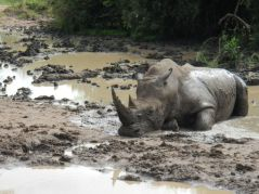 Rhino bathing in the mud