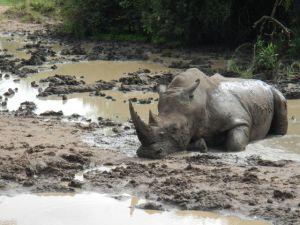 Rhino bathing in the mud