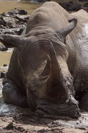 rhino in the mud