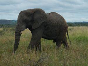The big male elephant