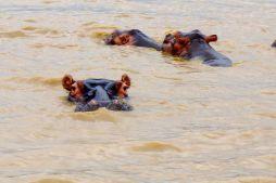 Hippo ahoy!