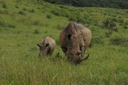 Rhino baby and mum
