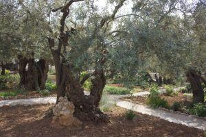 Crazy old olive tree