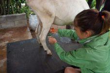 Emma milking a goat