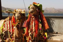 Camels dressed for a night on the town