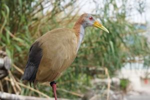Red eyed bird.