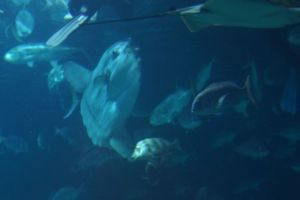 Sunfish in the tunnel tank.